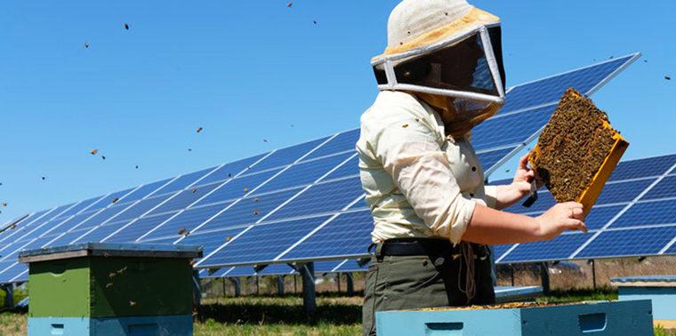گرده افشانی-مزارع خورشیدی